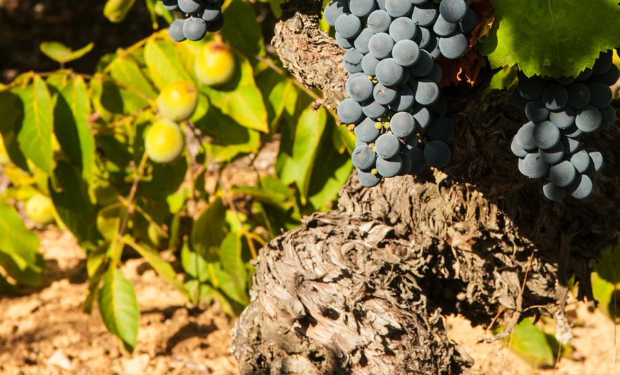 Productos de calidad del Bierzo, uva mencía Bierzo